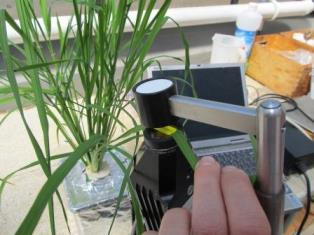 Plant probe measurement in rice